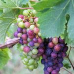 Merlot grapes of Château de Ferrand