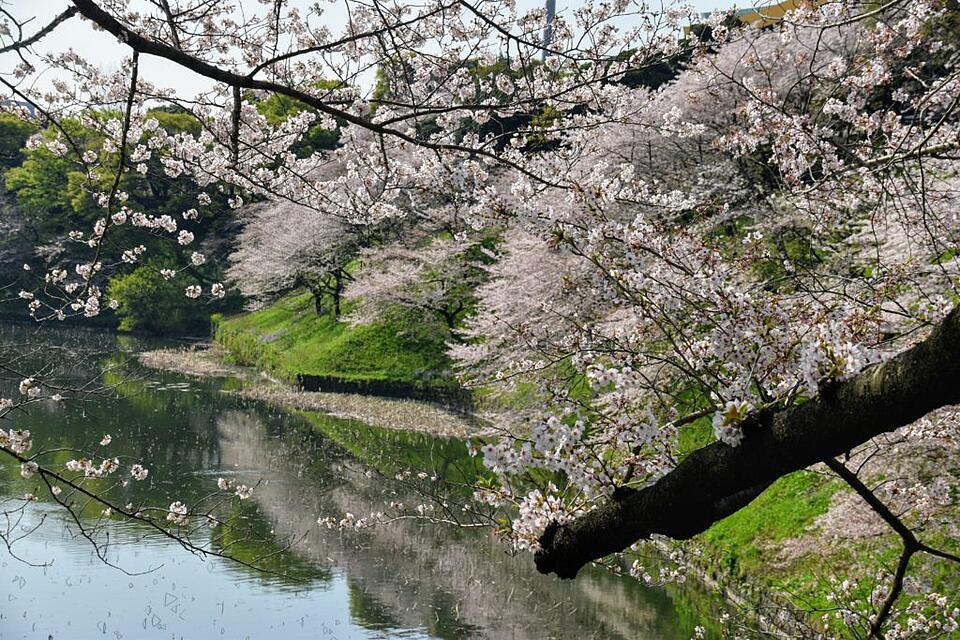 Cherry Blossoms at Imperial Palace, Tokyo
