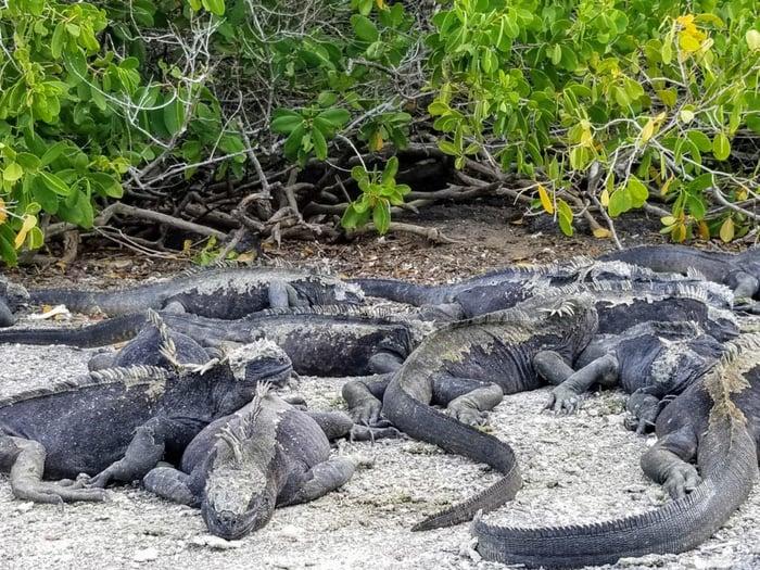 Sea Iguanas