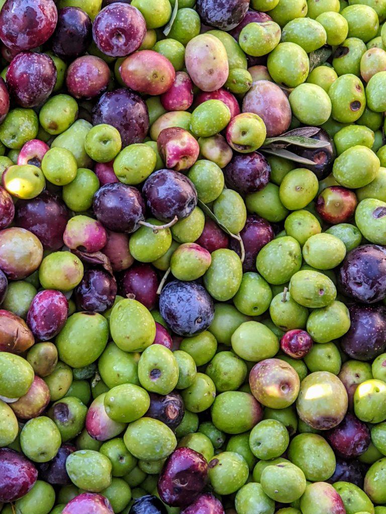 Olives in St Remy France